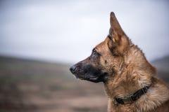 Retrato de trabalho do cão da segurança K9 fotos de stock
