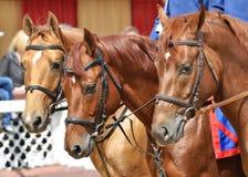 Retrato de tres caballos rojos de la raza de Don Foto de archivo