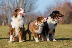 Retrato de tres perros de pastor australianos Imagen de archivo