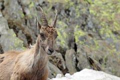 Retrato de um íbex Imagem de Stock