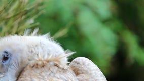 Retrato de um abutre de griffon filme