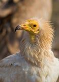 Retrato de um abutre egípcio Imagem de Stock Royalty Free