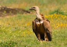 Retrato de um abutre novo Fotos de Stock Royalty Free