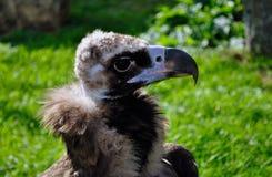 Retrato de um abutre preto Foto de Stock Royalty Free