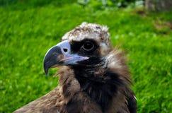 Retrato de um abutre preto Fotografia de Stock