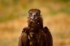 Retrato de um abutre preto selvagem Imagens de Stock