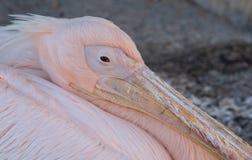 Retrato de um assento cor-de-rosa bonito e do relaxamento do pássaro do pelicano Imagens de Stock Royalty Free