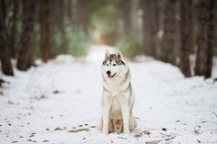 Retrato de um assento ronco cinzento em uma floresta nevado Foto de Stock
