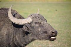 Retrato de um búfalo de água fotografia de stock