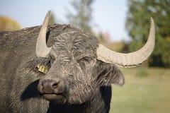 Retrato de um búfalo de água fotos de stock royalty free