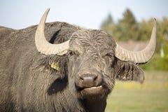 Retrato de um búfalo de água imagem de stock royalty free