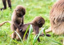 Retrato de um babuíno Fotos de Stock Royalty Free
