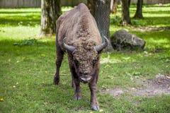 Retrato de um bisonte velho, parque nacional de Bialowieza Fotos de Stock
