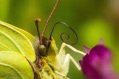 Retrato de um Brimstone comum (rhamni de Gonepteryx) fotografia de stock royalty free