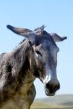 Retrato de um burro Imagens de Stock Royalty Free