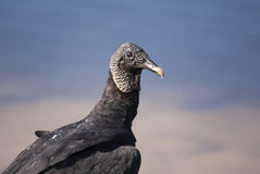 Retrato de um buzzard Imagem de Stock Royalty Free