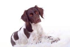 Retrato de um cão Imagens de Stock Royalty Free