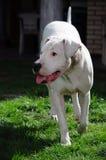 Retrato de um cão Fotos de Stock Royalty Free
