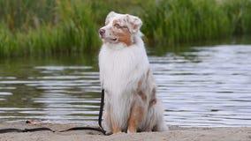 Retrato de um cão australiano perto do lugar da água video estoque