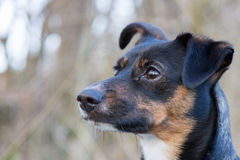Retrato de um cão bonito, atento no fundo obscuro Fotos de Stock Royalty Free