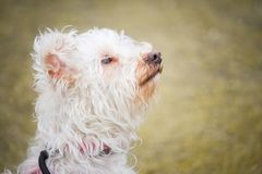 Retrato de um cão branco pequeno com cabelos encaracolado com um olhar macio e atento imagem de stock