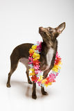 Retrato de um cão curioso engraçado do terrier de brinquedo Imagem de Stock Royalty Free