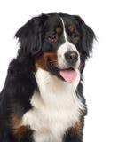 Retrato de um cão da montanha de Bernes Imagens de Stock Royalty Free