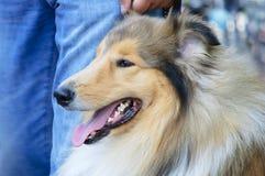 Retrato de um cão da raça do collie imagens de stock royalty free