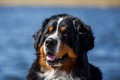 Retrato de um cão de montanha de Bernese Imagem de Stock Royalty Free