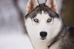 Retrato de um cão de puxar trenós fotografia de stock