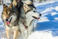 Retrato de um cão de puxar trenós e de um wolfdog na competência de chicote de fios no CCB branco Fotografia de Stock Royalty Free