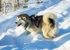 Retrato de um cão de puxar trenós na competência de chicote de fios no fundo branco Fotos de Stock