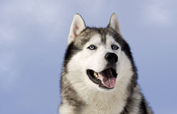 Retrato de um cão de puxar trenós siberian foto de stock