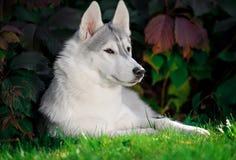 Retrato de um cão de puxar trenós Siberian imagem de stock royalty free