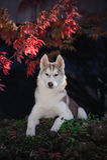 Retrato de um cão de puxar trenós Siberian vermelho fotografia de stock