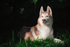 Retrato de um cão de puxar trenós Siberian vermelho imagens de stock royalty free