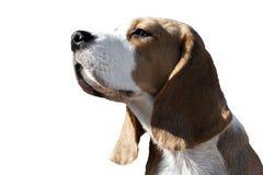 Retrato de um cão do lebreiro imagem de stock royalty free