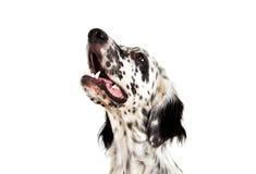 Retrato de um cão do setter inglês imagem de stock royalty free