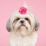 Retrato de um cão do tzu de Shih Imagem de Stock Royalty Free
