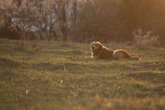 Retrato de um cão em exterior, dourado Imagens de Stock Royalty Free