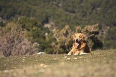 Retrato de um cão em exterior, dourado Foto de Stock Royalty Free
