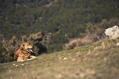 Retrato de um cão em exterior, dourado Imagens de Stock