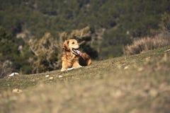 Retrato de um cão em exterior, dourado Imagem de Stock Royalty Free