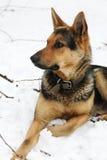 Retrato de um cão em um fundo branco Foto de Stock Royalty Free