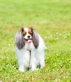 Retrato de um cão feliz com sua língua que penduram para fora e as orelhas de suspensão Fahlen está estando na grama verde Fotografia de Stock Royalty Free