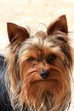Retrato de um cão marrom pequeno Fotografia de Stock