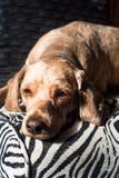 Retrato de um cão marrom que encontra-se para baixo fotografia de stock royalty free