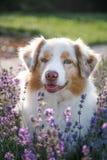 Retrato de um cão na alfazema de florescência imagem de stock royalty free