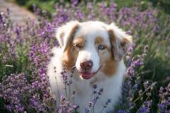 Retrato de um cão na alfazema de florescência fotos de stock royalty free