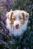 Retrato de um cão na alfazema de florescência imagem de stock